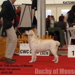 CACIB Katowice, 21.03.2009 - GUCIO zdobywa kwalifikację na CRUFTS 2010!!