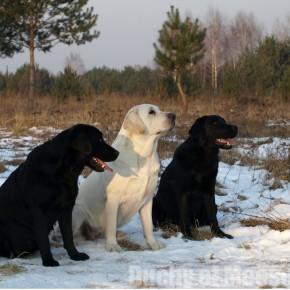 Niedzielny spacer Labradorów